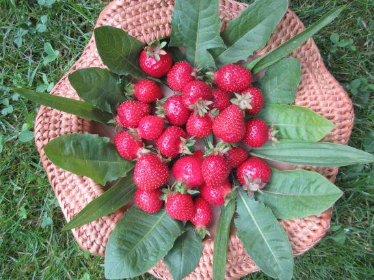 Erdbeerteller mit Löwenzahn und Spitzwegerich