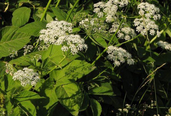Blüten vom Giersch