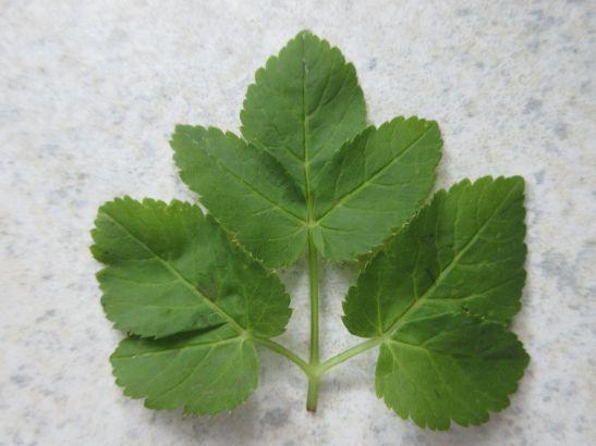 Blätter vom Giersch